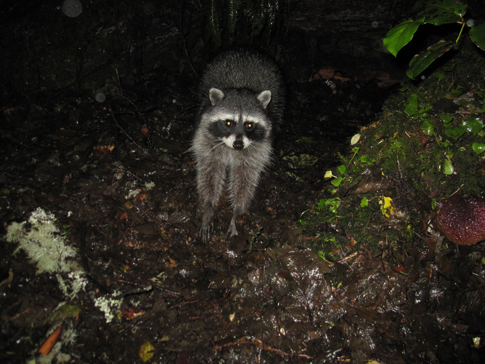 Barron_Joby_raccoon_web