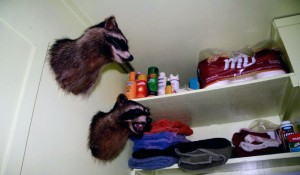 Two Racoons
